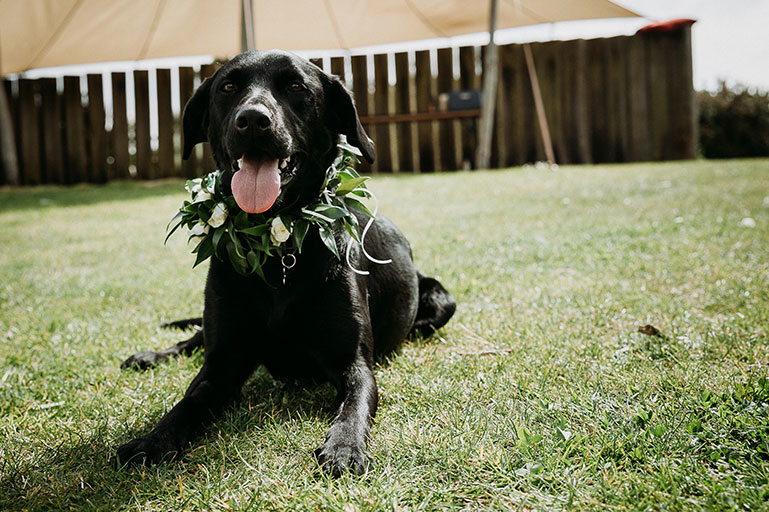 Black Labrador at wedding with green floral wreath
