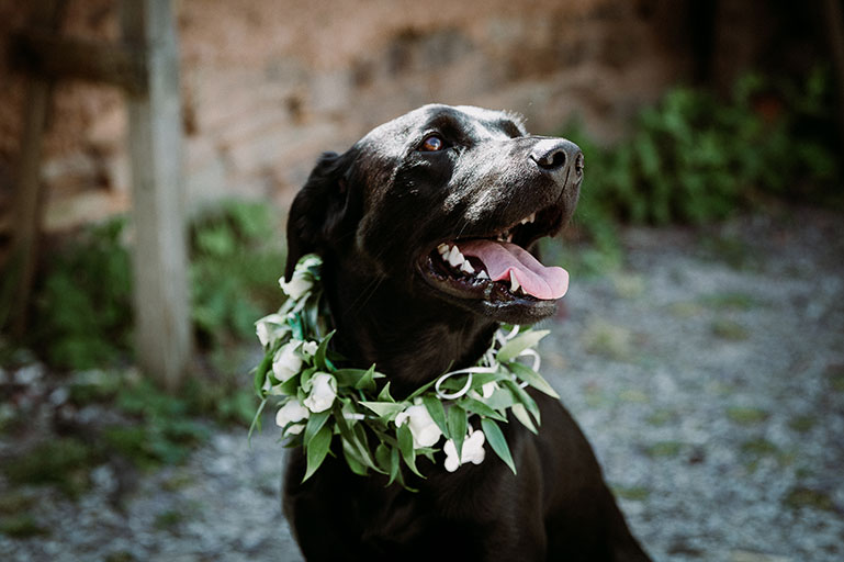 Black Labrador dog at wedding with floral wreath