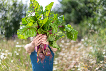 Freshly picked organic chard
